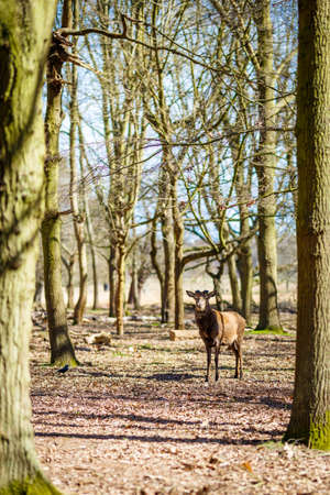 Deer in spring in Richmond park, London