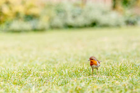 Robin on the grass in the Hyde park, London