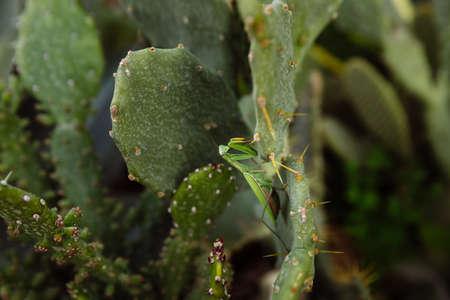 Green mantis is looking for prey on a cactus Archivio Fotografico