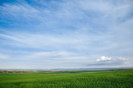 Green field and sky with clouds, grass in spring background, agricultural cereal crop