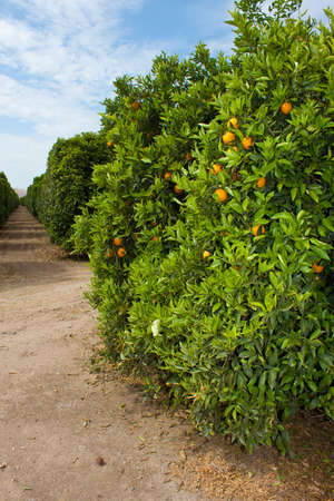 view of ripe oranges of plantation