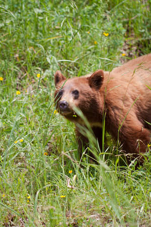 grisly: view of the grisly bear in grass during summer