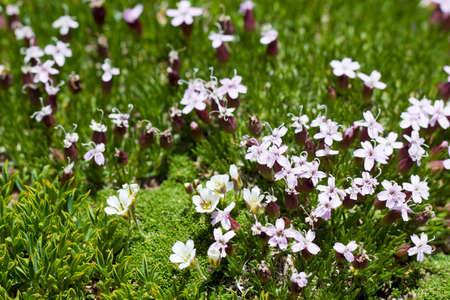 closeup shot of Moss Campion (silene acaulis) in the wild photo