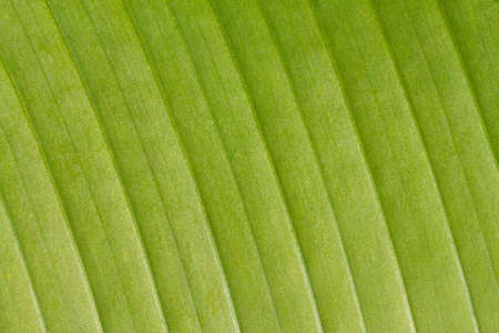 closeup of a green banana leaf with veins Stock Photo - 12939048