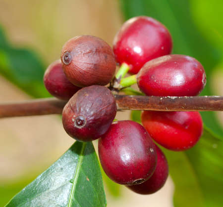 growing coffee berries on a branch photo