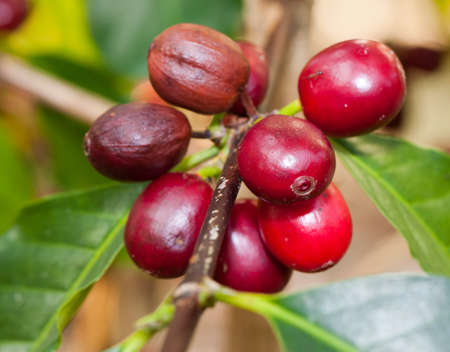 growing coffee berries on a branch