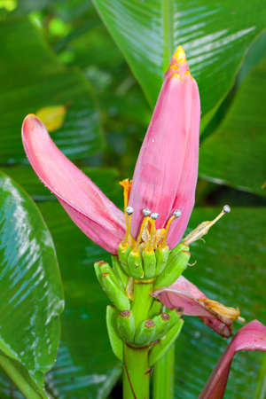 closeup of a Lotus banana flower photo