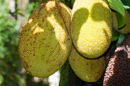 jackfruit artocarpus heterophyllus moraceae Stock Photo - 12939028