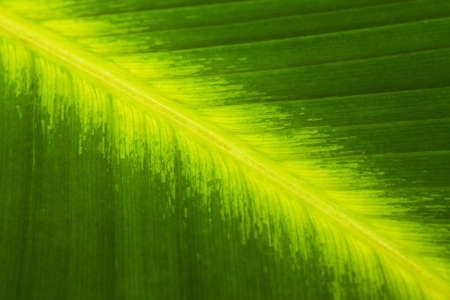 closeup of a green banana leaf with veins photo