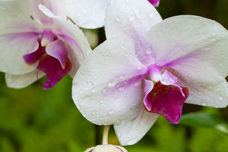 closeup of a white orchid with rain drops