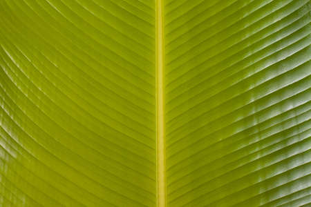 closeup of a green banana leaf with veins Stock Photo - 12939029