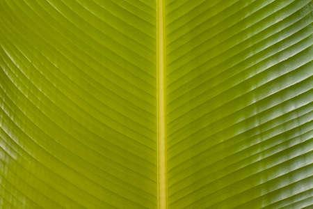 closeup of a green banana leaf with veins photo