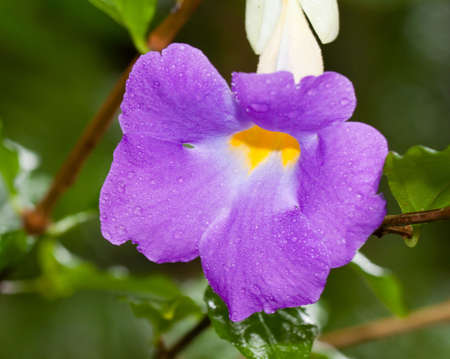 closeup of campanula bellflower photo