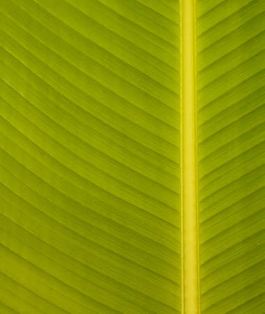 closeup of a green banana leaf with veins Stock Photo - 12939020