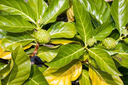 green noni also known as Morinda citrifolia