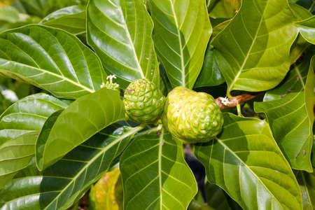 morinda: green noni also known as Morinda citrifolia