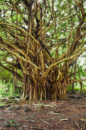 big banyan tree in the tropical forest photo
