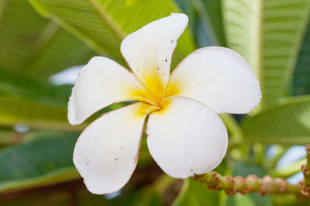 Flower also known as Plumeria or Temple Tree photo
