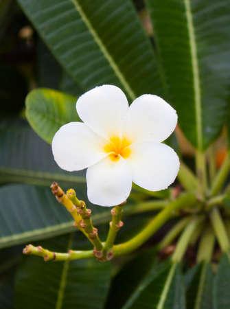 Flower also known as Plumeria or Temple Tree 版權商用圖片