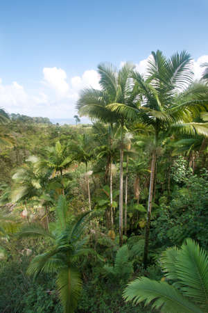 Green coconut palms in Hawaii photo