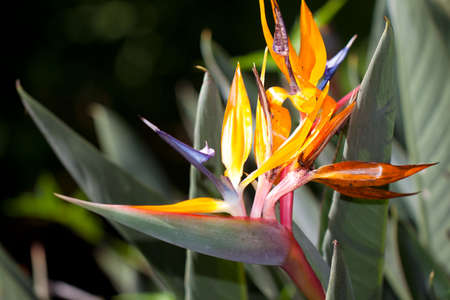 blooming bird of paradise flower photo