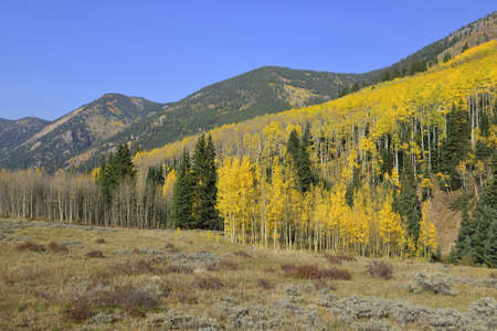 golden and green aspen in Colorado during foliage season photo