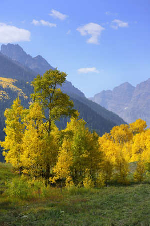 overlook: golden and green aspen in front of Elk Mountains in Colorado during foliage
