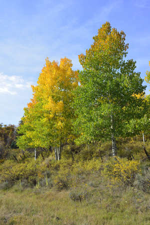 yellow and green trees in the mountains of colorado during fall photo