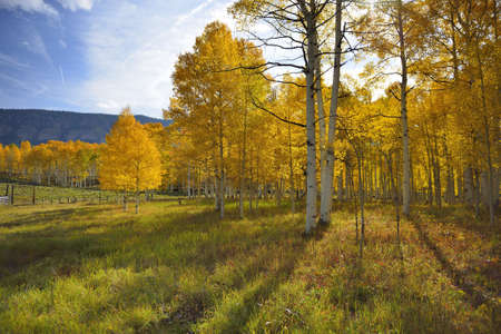 yellow and green aspen in the mountains of Colorado during foliage season Stock Photo
