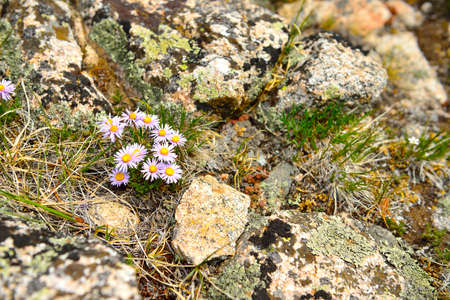alpine tundra: wild flowers in the high altitude alpine tundra in Colorado during summer Stock Photo