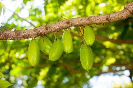 bilimbi: Pickle Tree Averrhoa bilimbi closeup