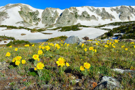 Alpine meadow and wild flowers in Snowy Range Mountains in Medicine Bow, Wyoming in summer