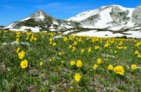 Alpine meadow with wild flowers in Snowy Range Mountains in Medicine Bow, Wyoming in summer