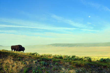 hayden: bison in the meadow in Hayden Valley of Yellowstone National Park in summer Stock Photo