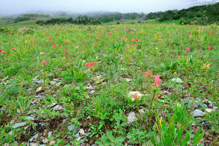 alpine tundra: high alpine tundra flowers and heavy fog in summer