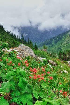 alpine tundra: high alpine tundra red flowers and heavy fog in summer