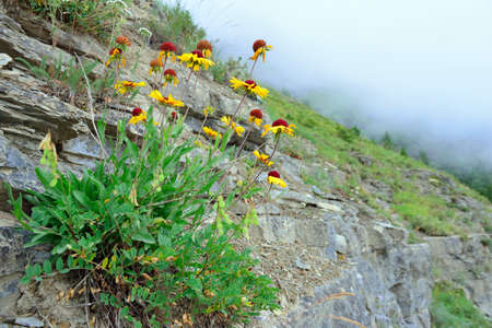 alpine tundra: high alpine tundra flowers growing on the rock in glacier national park