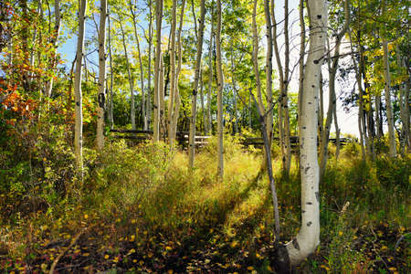 summer trees: forest of yellow aspens during the foliage season