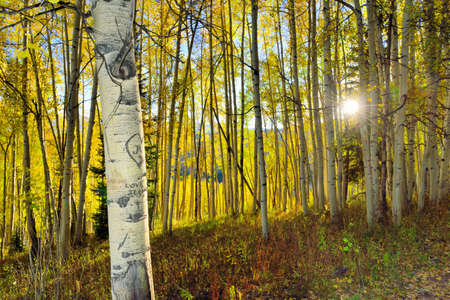 summer trees: sun shining through tall yellow and green aspen forest during foliage season at Kebler and Ohio Passes in Colorado