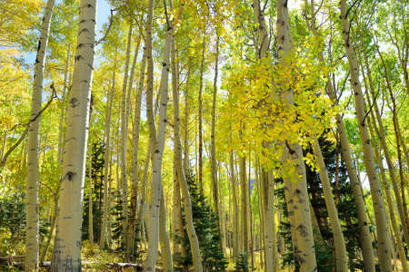colorful bright yellow and green aspen in the forest during foliage season Stock fotó