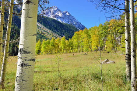 colorful yellow, green and red aspen in the forest during foliage season
