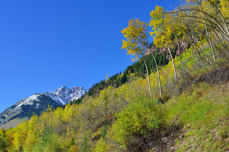 summer trees: snow covered mountains with colorful aspen during foliage season in Colorado