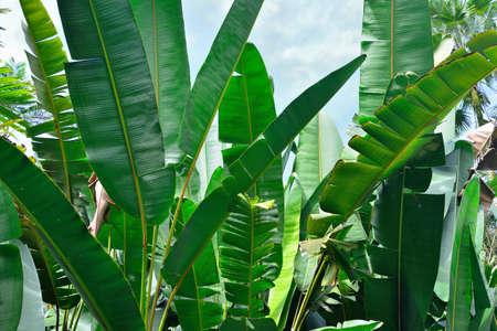 closeup of banana palm leaves in Hawaii big island of Oahu