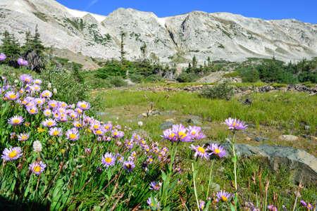 Des fleurs alpines devant le Medicine Bow Mountains of Wyoming pendant l'été Banque d'images - 75951019