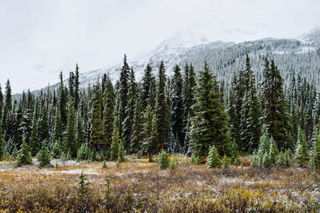 Snow covered trees in the alpine forest of the Canadian Rockies along the Icefields Parkway between Banff and Jasper