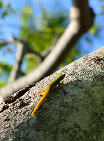 closeup of the gold dust day gecko on a tree in Hawaii Big Island