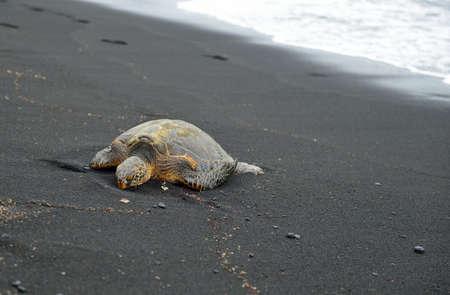 Turtle on the black sand beach of Hawaii Big Island, USA Stock Photo