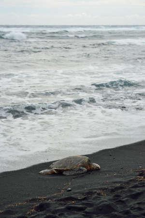 Turtle on the black sand beach of Hawaii Big Island, USA 版權商用圖片