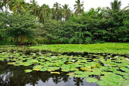 Lilies on the tropical lake in Hawaii Big Island, USA Stock Photo