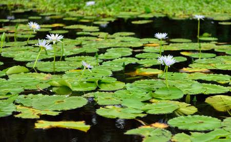 Lilies on the tropical lake in Hawaii Big Island, USA 版權商用圖片